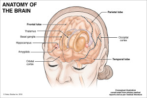 anatomy_brain_web